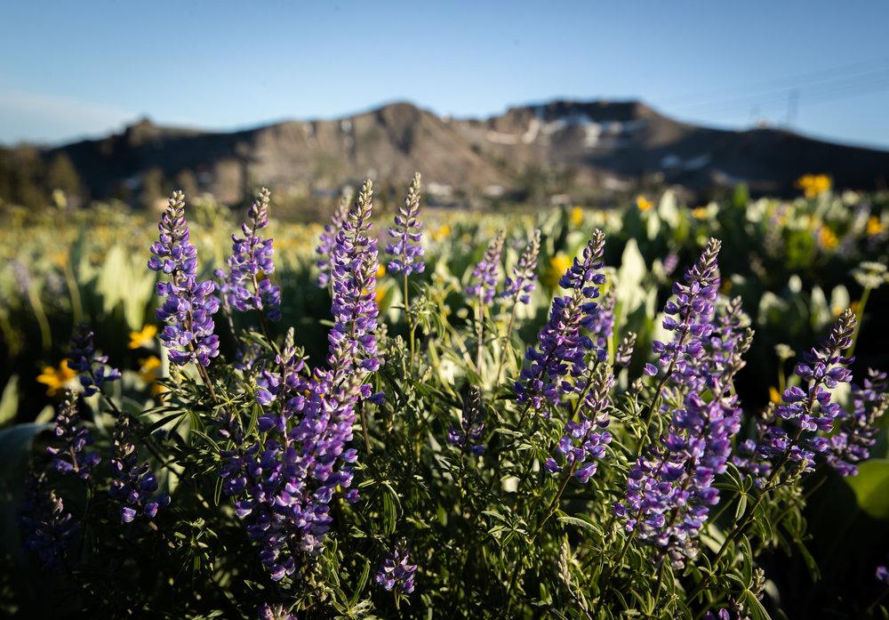 180705BA_SVAM High Camp Wildflowers10.jpg