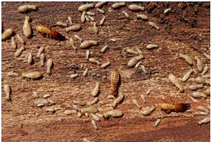 wood pests