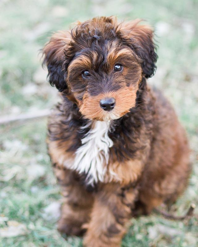 State College friends! We're looking to expand our list of possible puppy sitters for @taco.murphy - our 4 month old sheltidoodle. He is currently around a whopping 11 lbs, is hypoallergenic, and doesn't shed! He is being crate trained and is great with kids and other dogs and is generally doing okay with house training. We've looked on dog vacay etc but wanted to check to see if any friends would be interested in helping out occasionally! Let me know if you might be interested / know anyone. (Next time we are looking for sitters is Memorial Day Weekend, but let me know if you'd want to be added to our list even if you aren't available MDW.) Thanks!! #tacomurphy