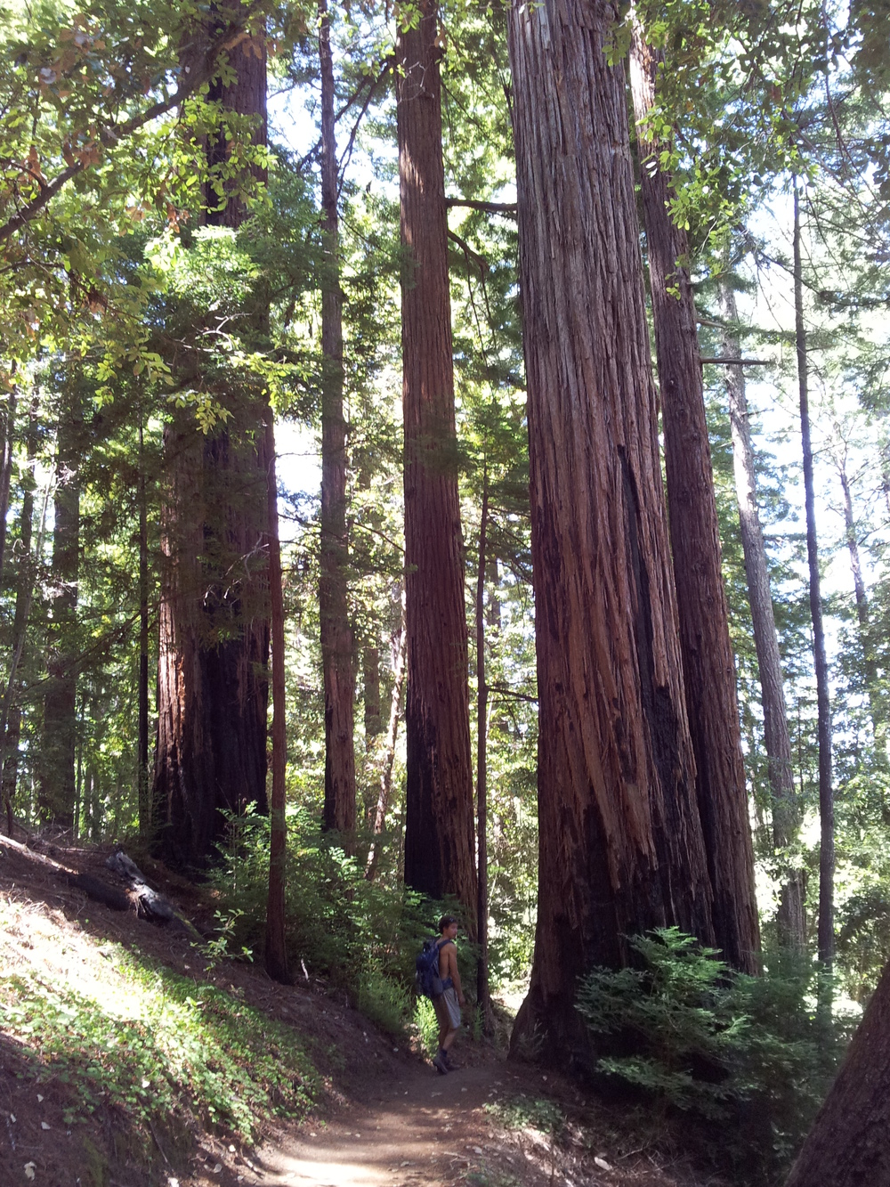 Redwood tree, to scale