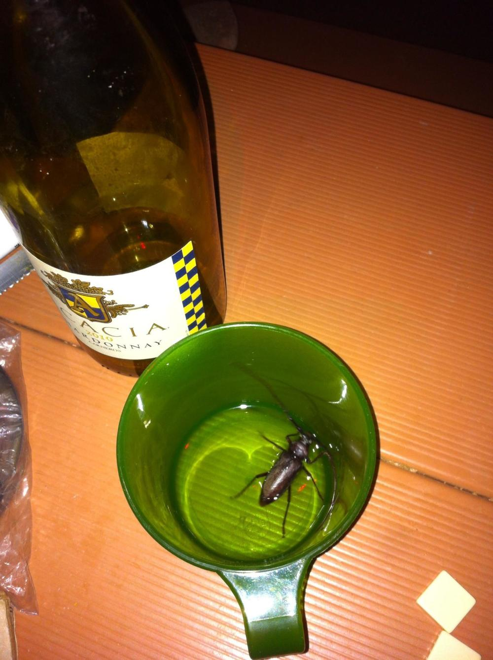 The ENORMOUS beetle that I almost drank