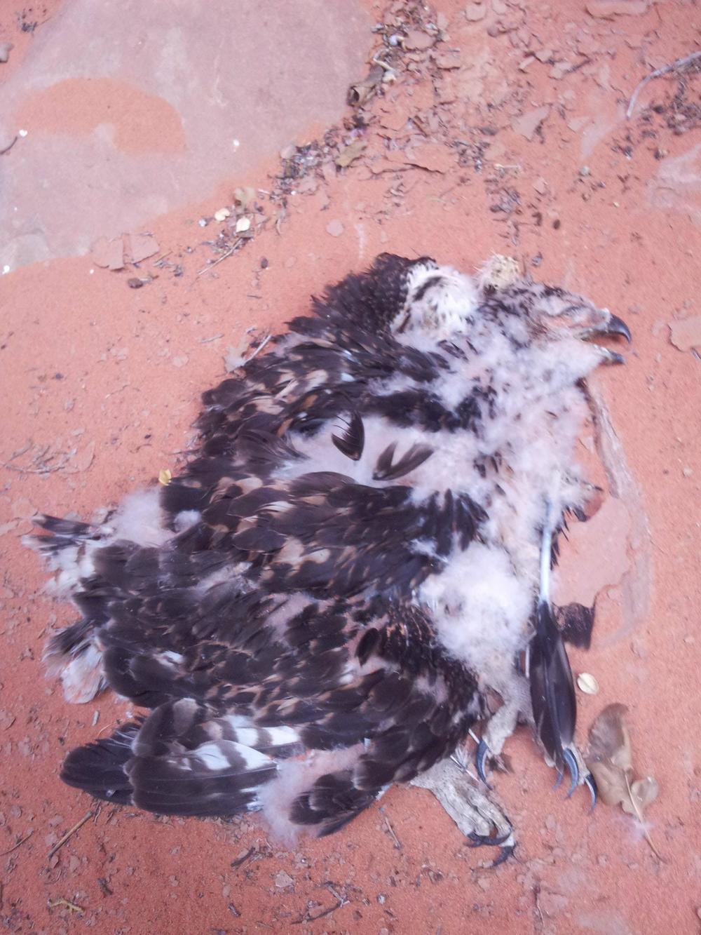 A dead baby peregrine falcon?