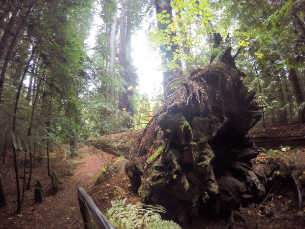 The trail rounds the enormous roots of a fallen tree