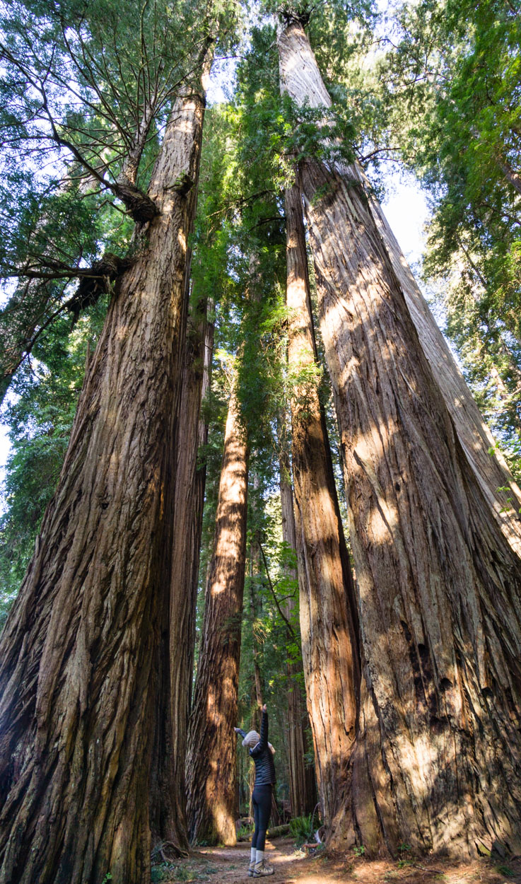 Feeling dwarfed by these towering trees