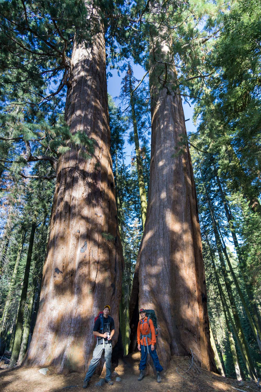 Giant sequoia trees in sequoia national park, ca