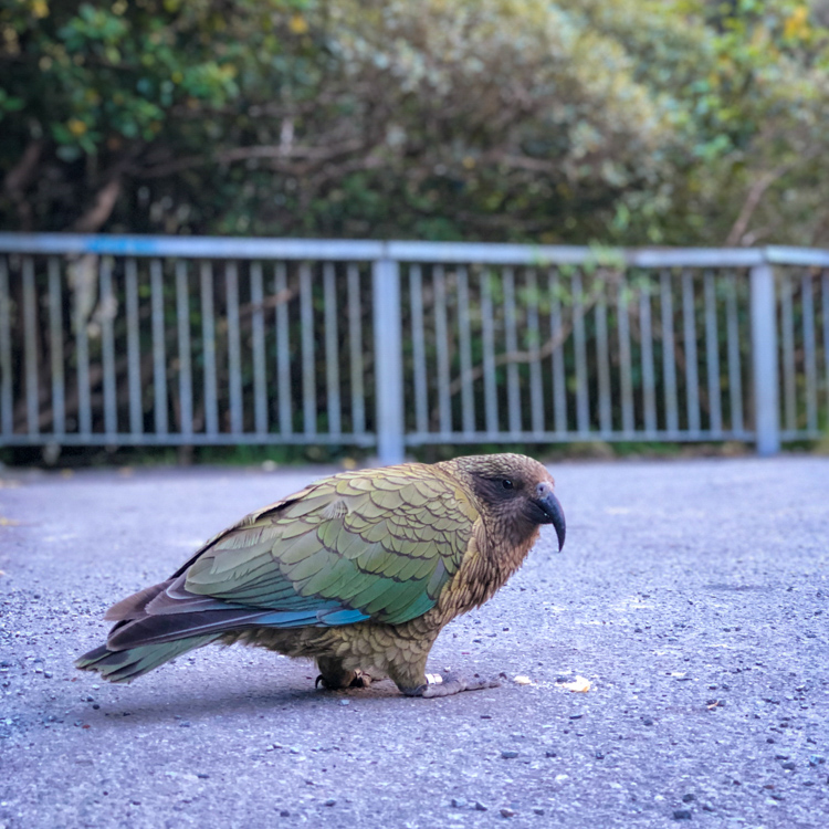 Spotted a Kea along the road!