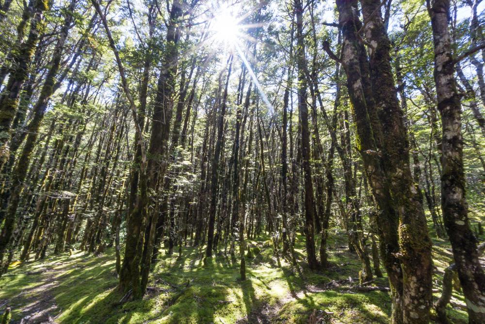 beech trees at arthurs pass national park new zealand