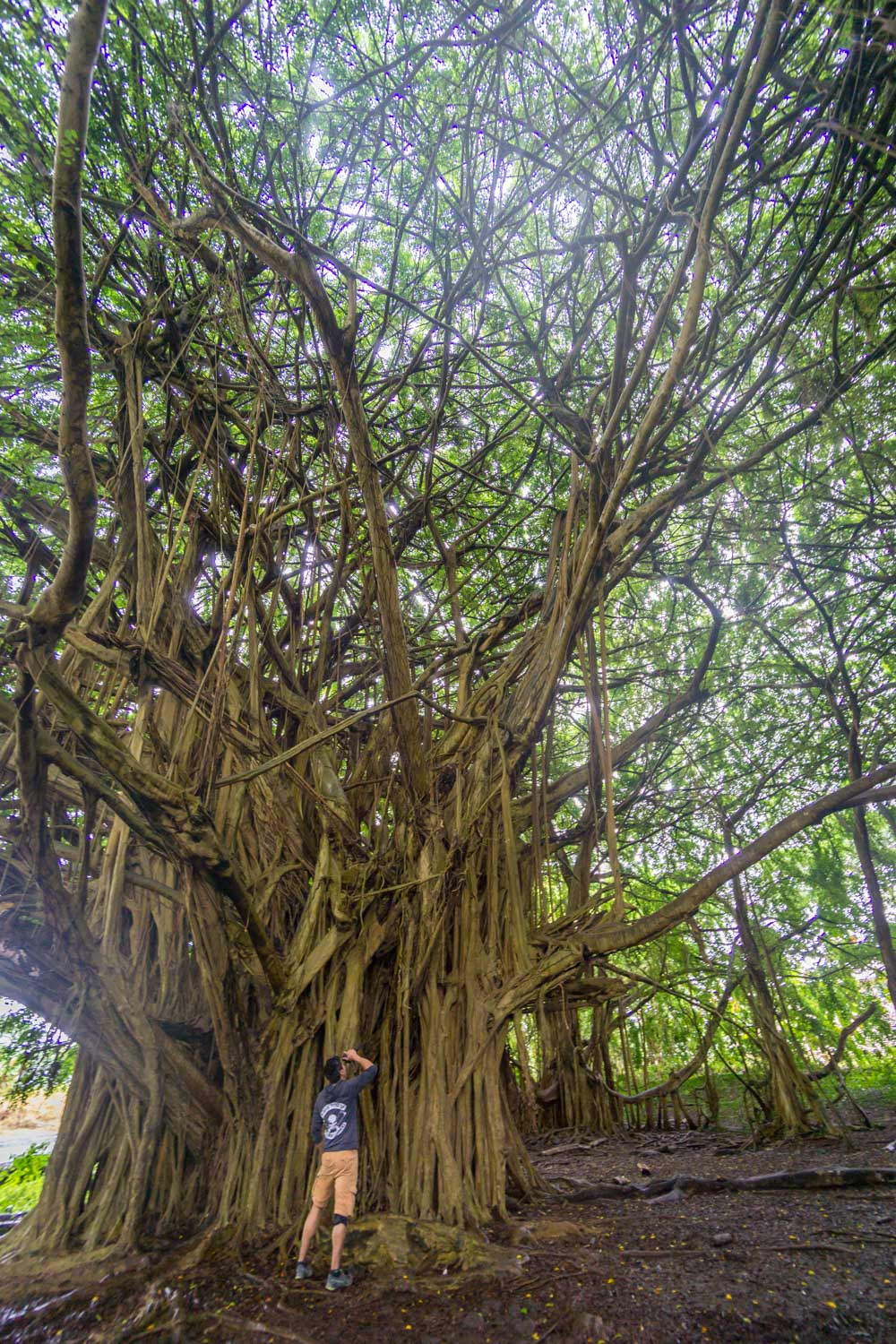 Banyan trees at rainbow falls