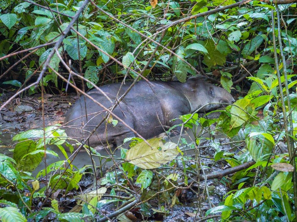 bairds-tapir-corcovado.jpg