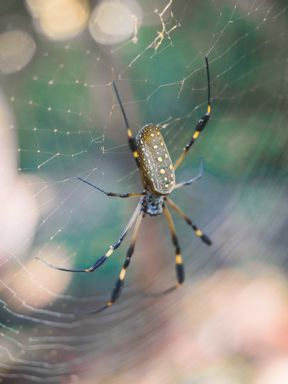 Golden orb spider in costa rica