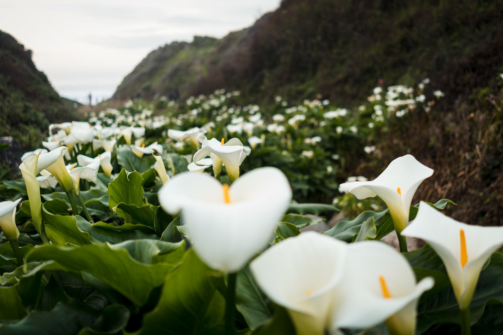 A stunning display of wild calla lilies