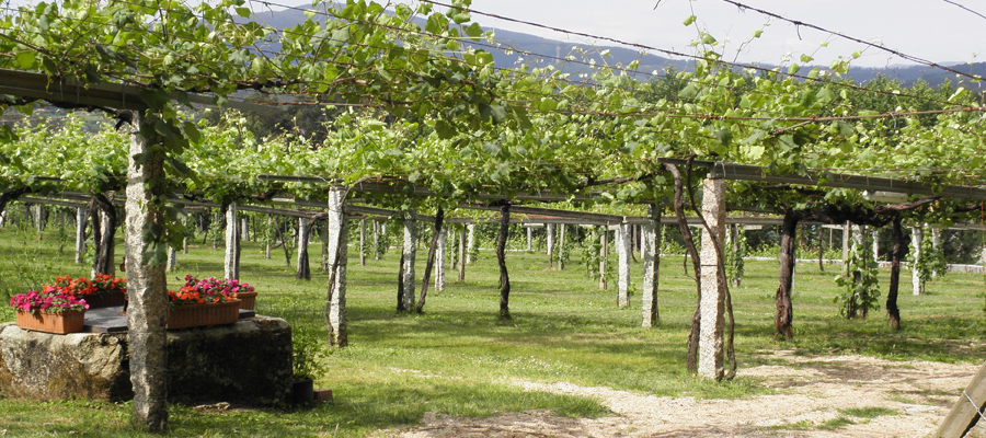 The traditional Pergola system to facilitate a dry canopy and avoid fungal diseases.