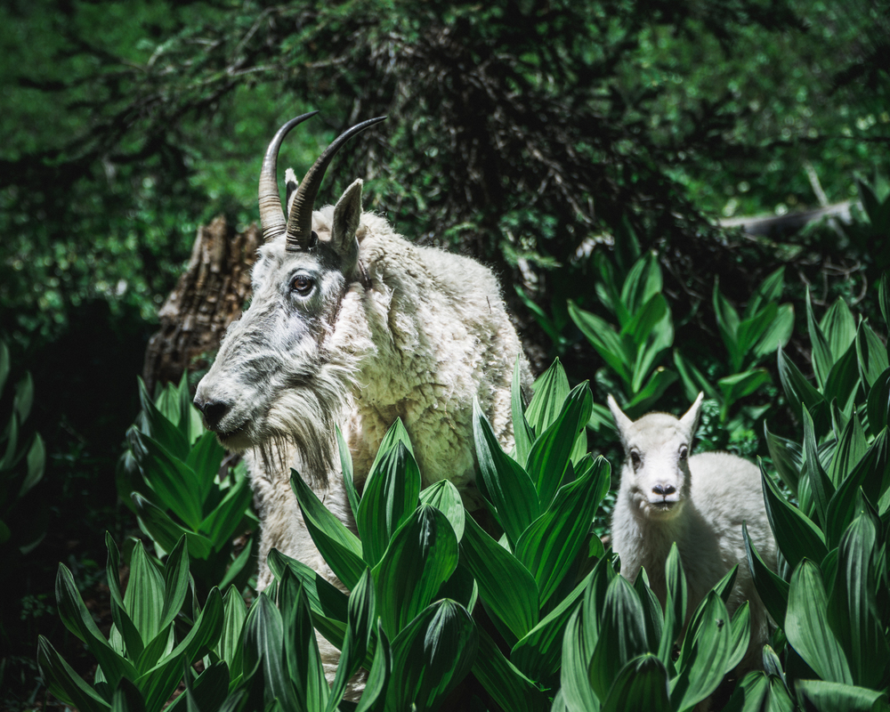 MountainGoats-7.jpg