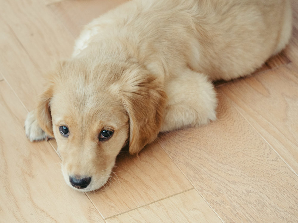 Golden Retriever, Charlie