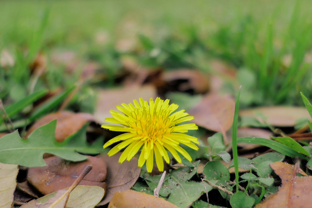 Dandelion Flower (Shot with in camera Post Focus feature)