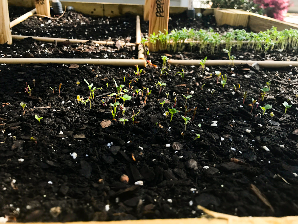 European Mesclun Salad Mix.  This was next to sprout, at about six or seven days, and also seems weirdly distributed. Clearly this is something I need to work on. But it's coming in strong and I can see the different varieties of greens already.