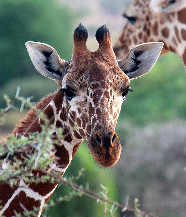micato-safaris-cadence-travel-giraffe.jpg