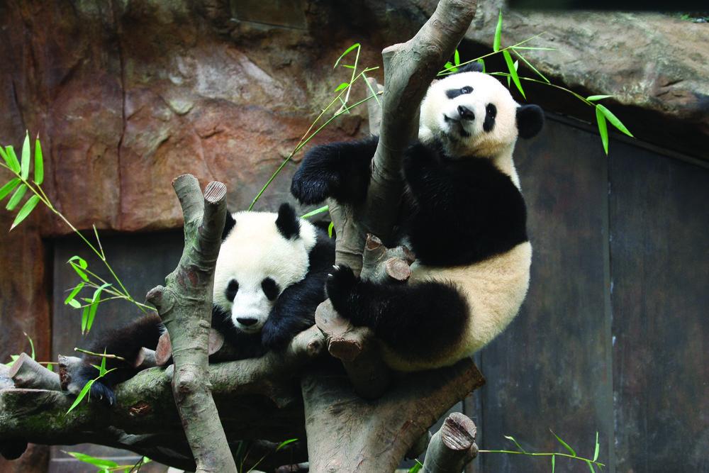 Asia Tapestry The Best of China & Hong Kong - Pandas.jpg