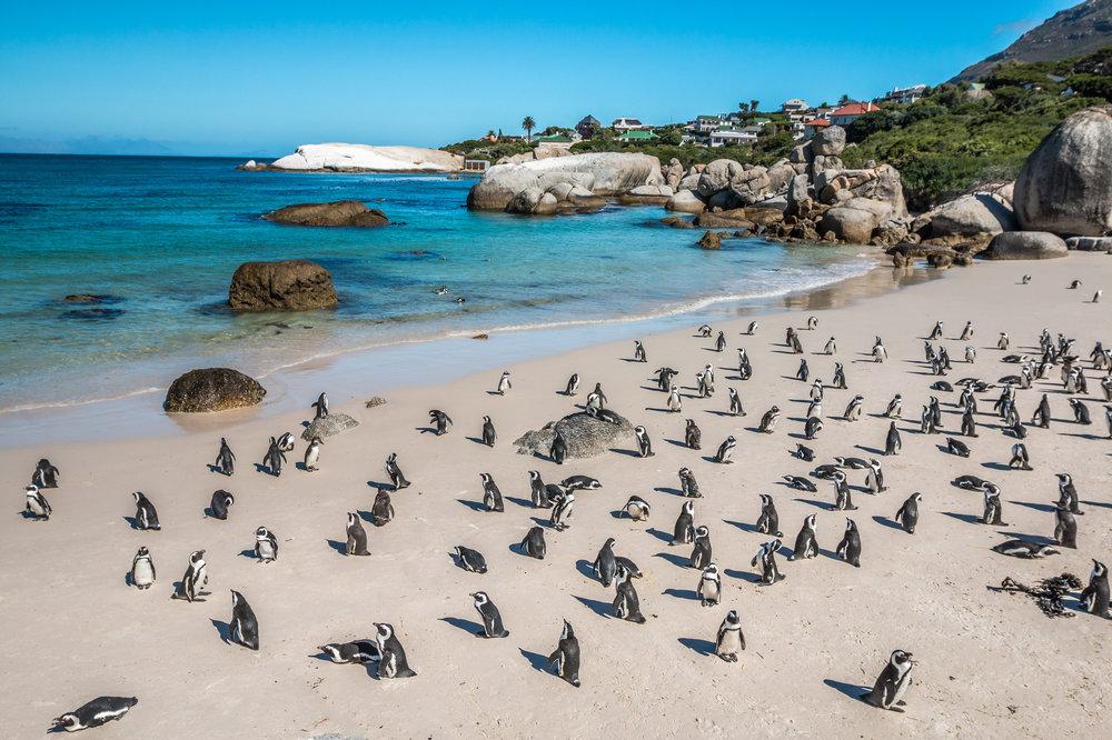 Africa-capetown-penguins.jpg