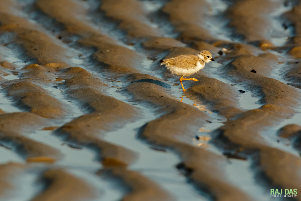 Breakfast time for a piping plover chick