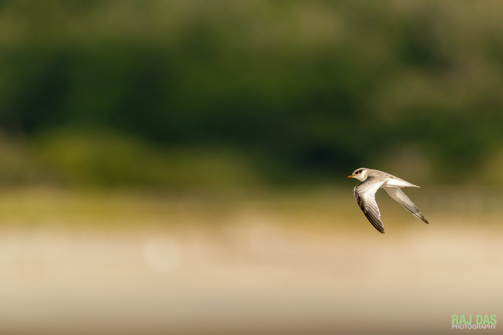 A juvenile common tern makes its way across the dunes