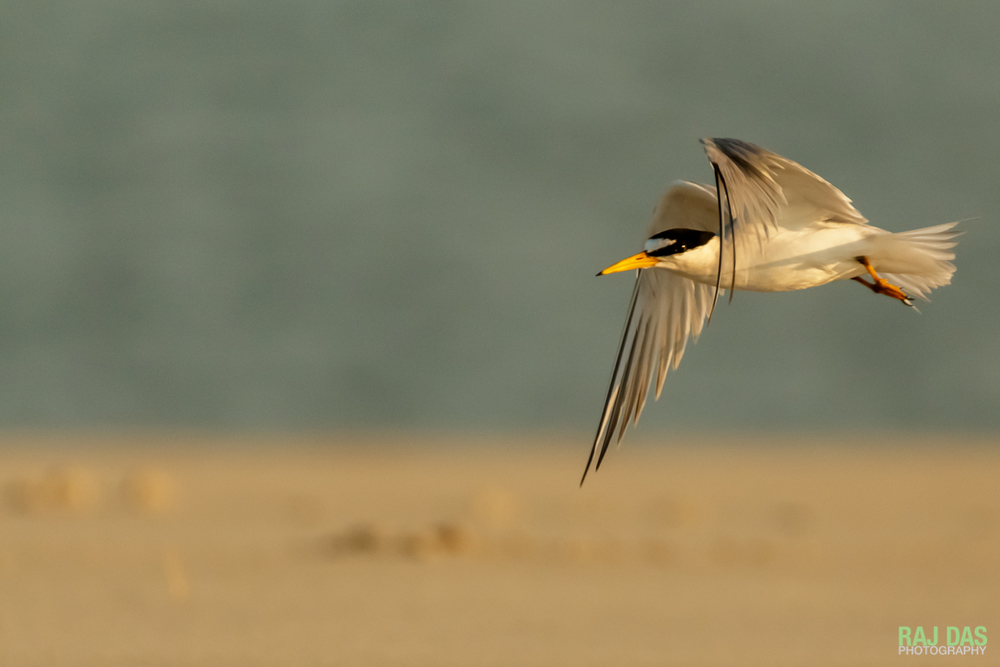 An adult common tern as it flies towards the waves for small fish to bring back to the young