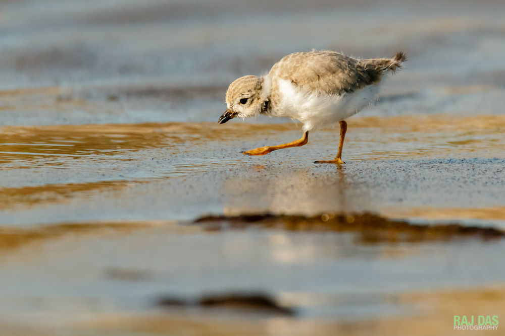 As the tide recedes, a piping plover chick looks for small insects and worms along the shoreline