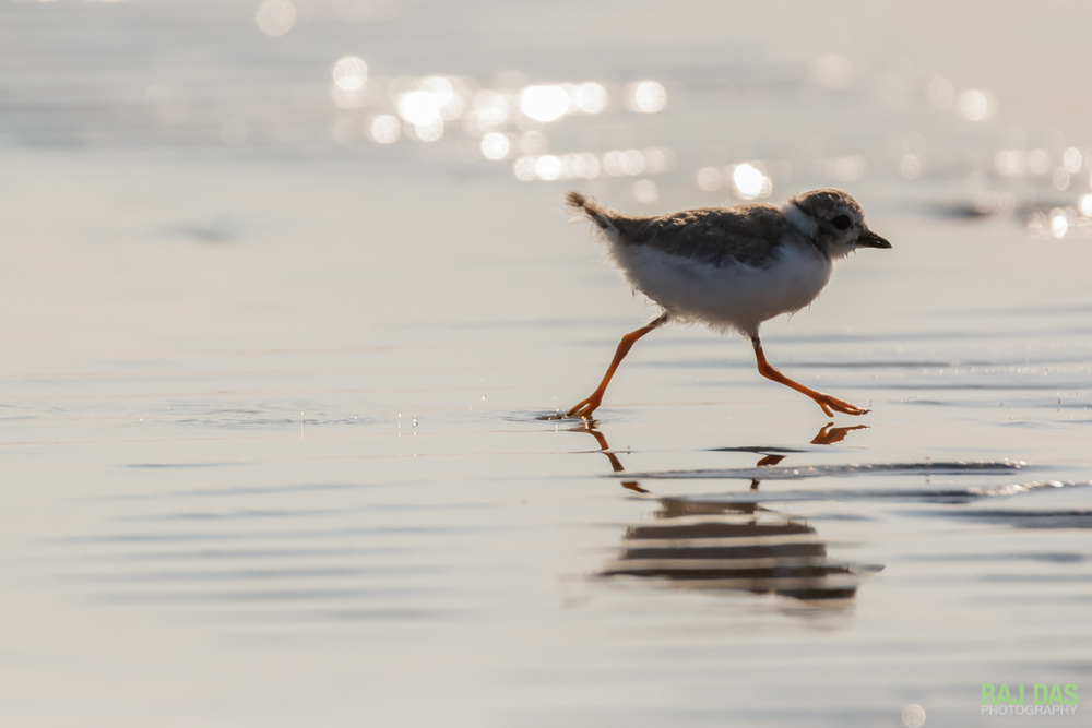 A piping plover chick runs back towards the mother