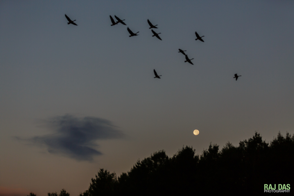 A flock of geese fly across the early morning skies as the moon continues it's descent behind the trees