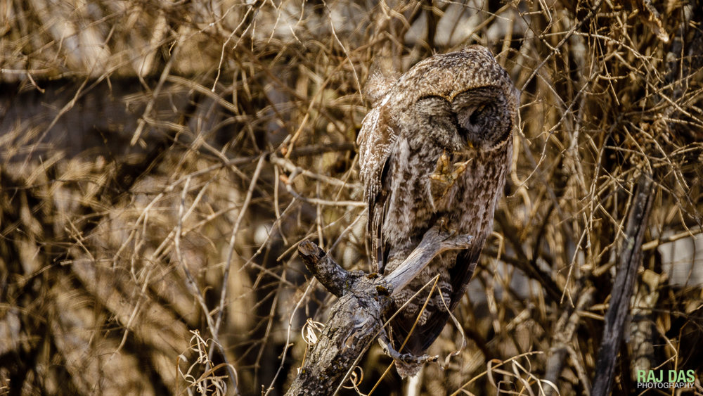 A great gray owl blends well with the background as it grooms itself on its perch