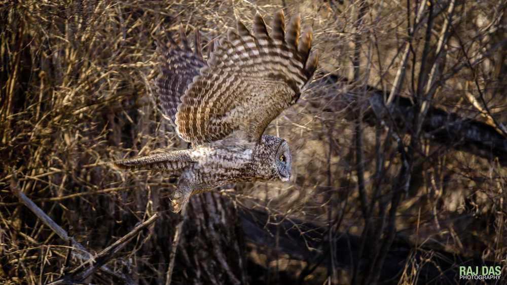 The owl files off from its perch towards the open field to start hunting for prey