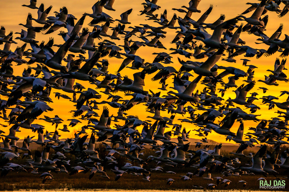 Snow geese taking off in the morning from main pool in Bosque del Apache NWR, New Mexico