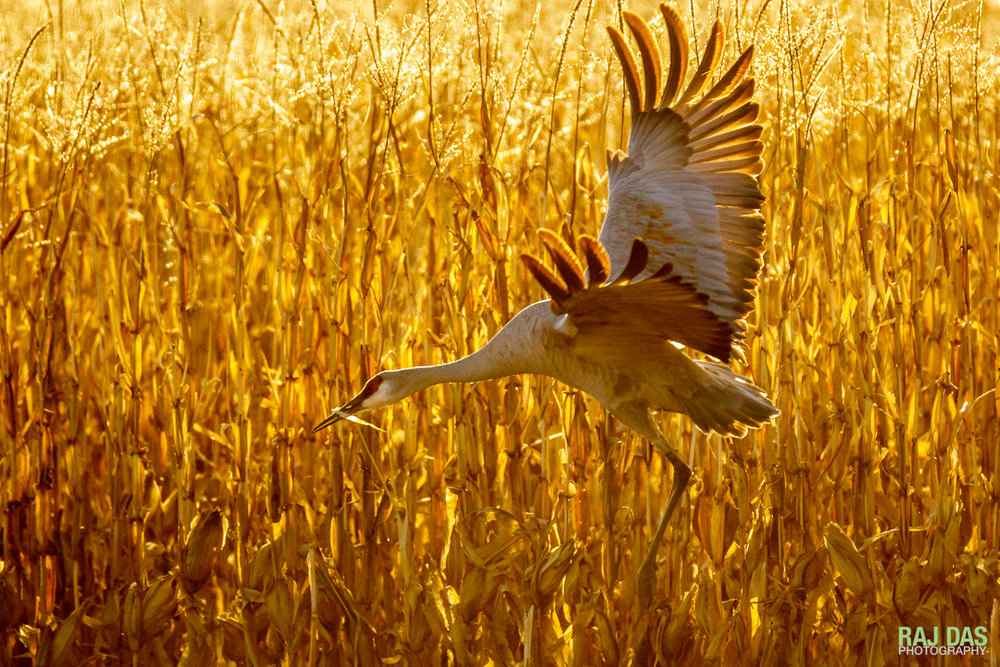 A greater sandhill crane landing in a corn field backlit by the later afternoon sun