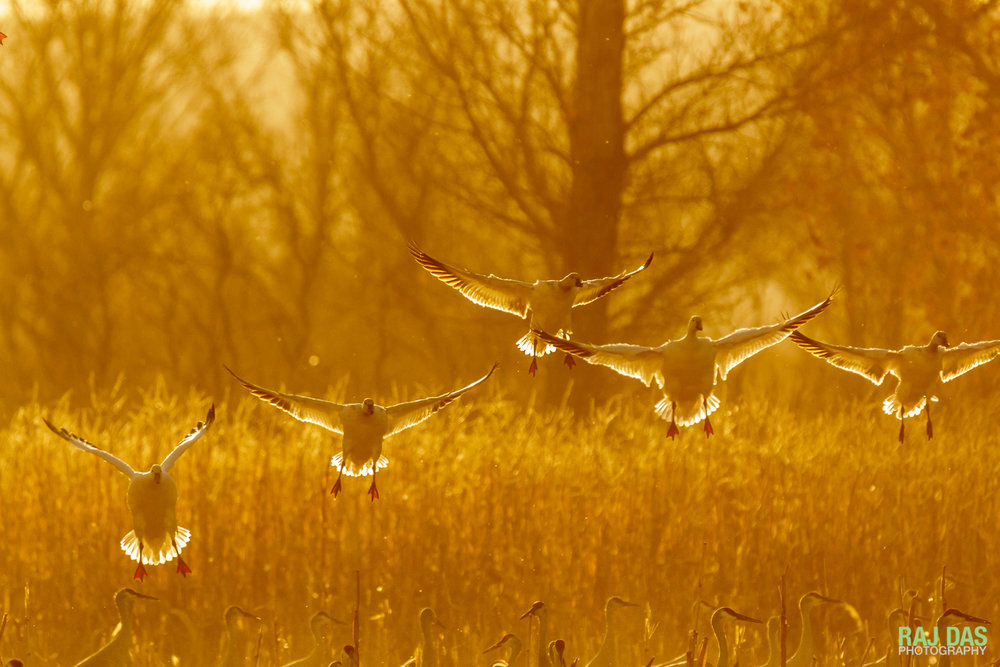 A flock of snow geese backlit by the late afternoon sun landing on a corn field