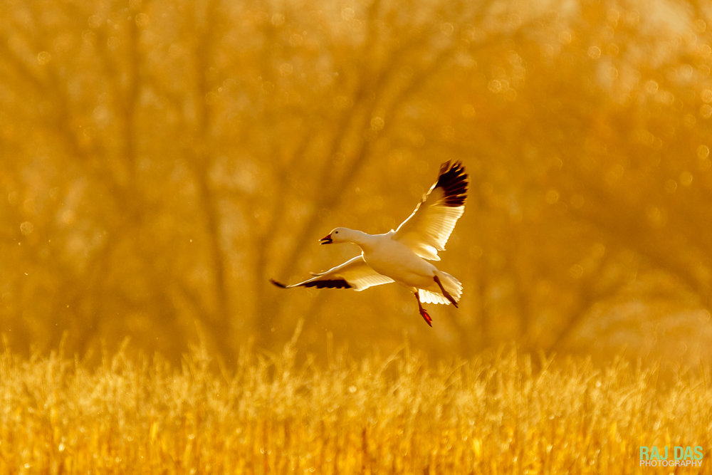 A snow goose landing in a corn field at Bosque del Apache NWR