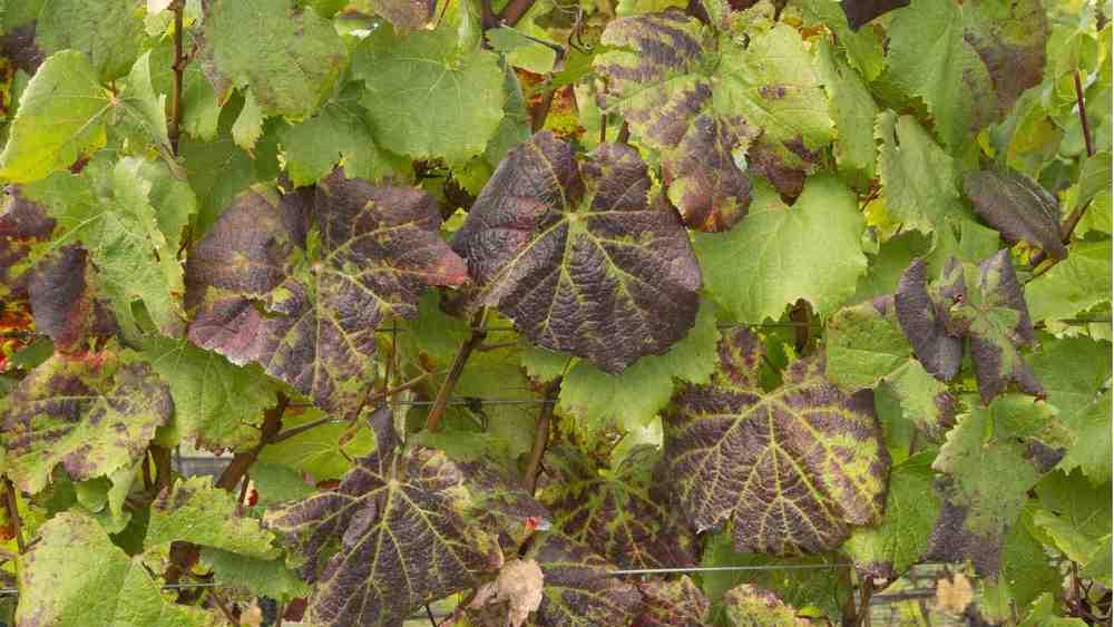 Leaf Roll 3.jpg