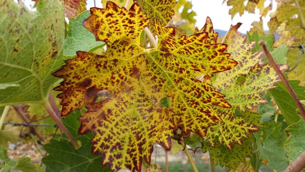 Soltan_mystery leaf.jpg