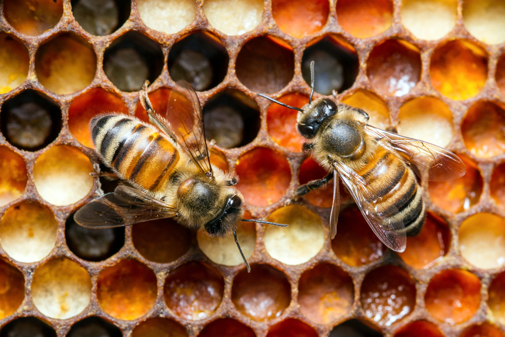 Two workers on a comb filled with pollen.