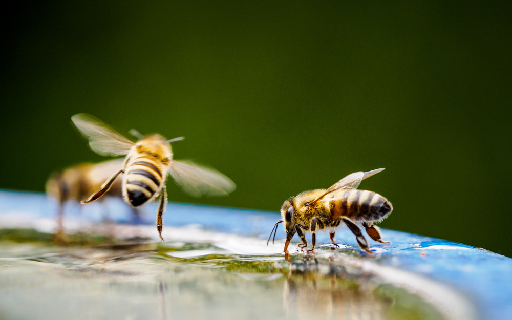A bee stopping for a drink. Image by Guido Gloor Modjib on Flickr.