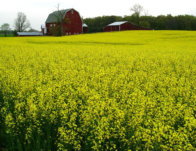 An example of monoculture - a canola field in Michigan. Image by Julie Falk on Flickr.