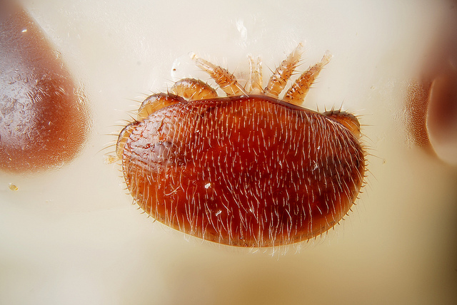 Up close to a varroa mite. Image by Gilles San Martin on Flickr.