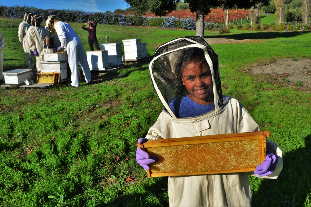 A young girl removes a frame of honey from a hive at Keller Estate Winery