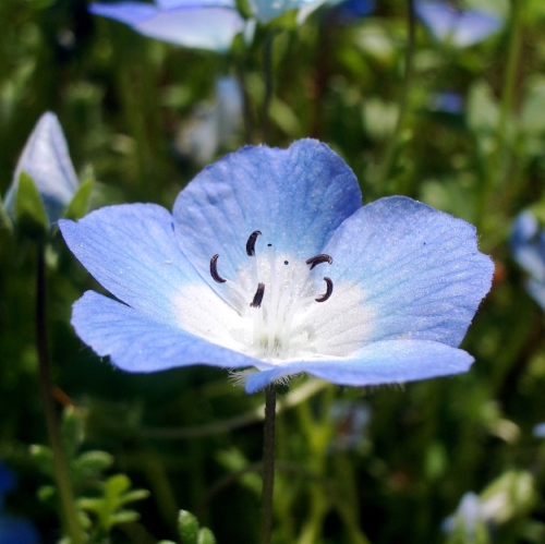 Baby_Blue_Eyes_o.jpg