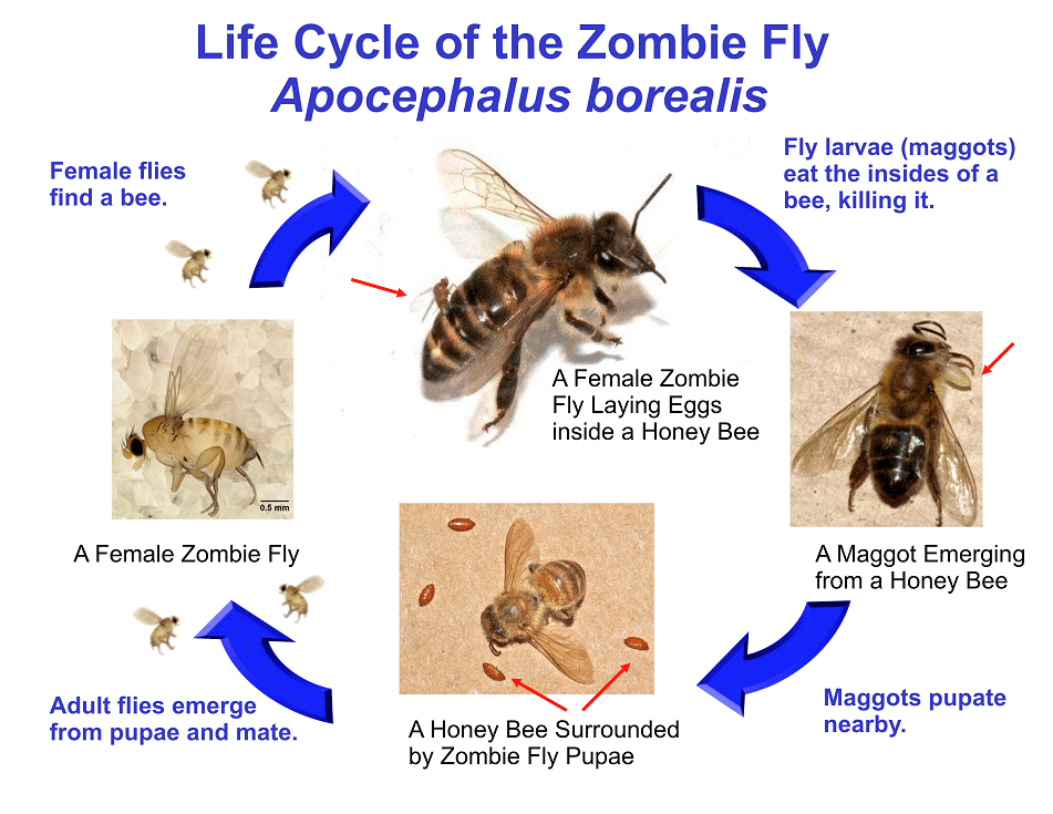 Zombie fly life cycle