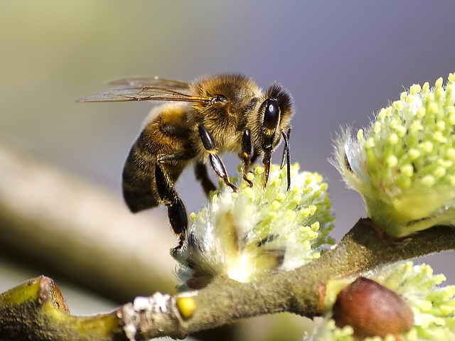 A honey bee sips nectar with her proboscis