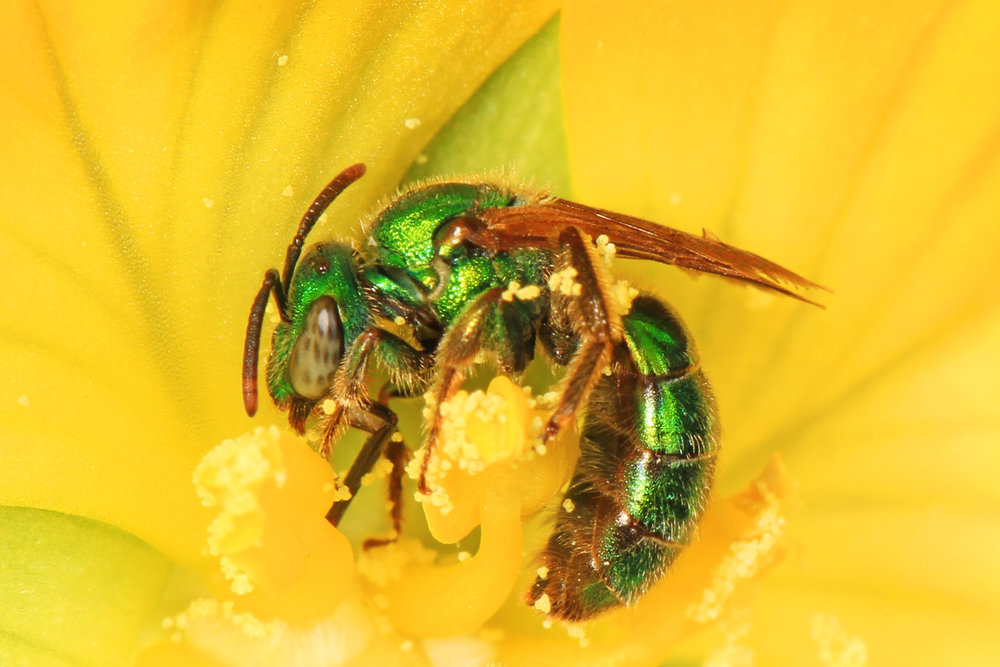 A green sweat bee,  Agapostemon texanus , collecting pollen from a flower.