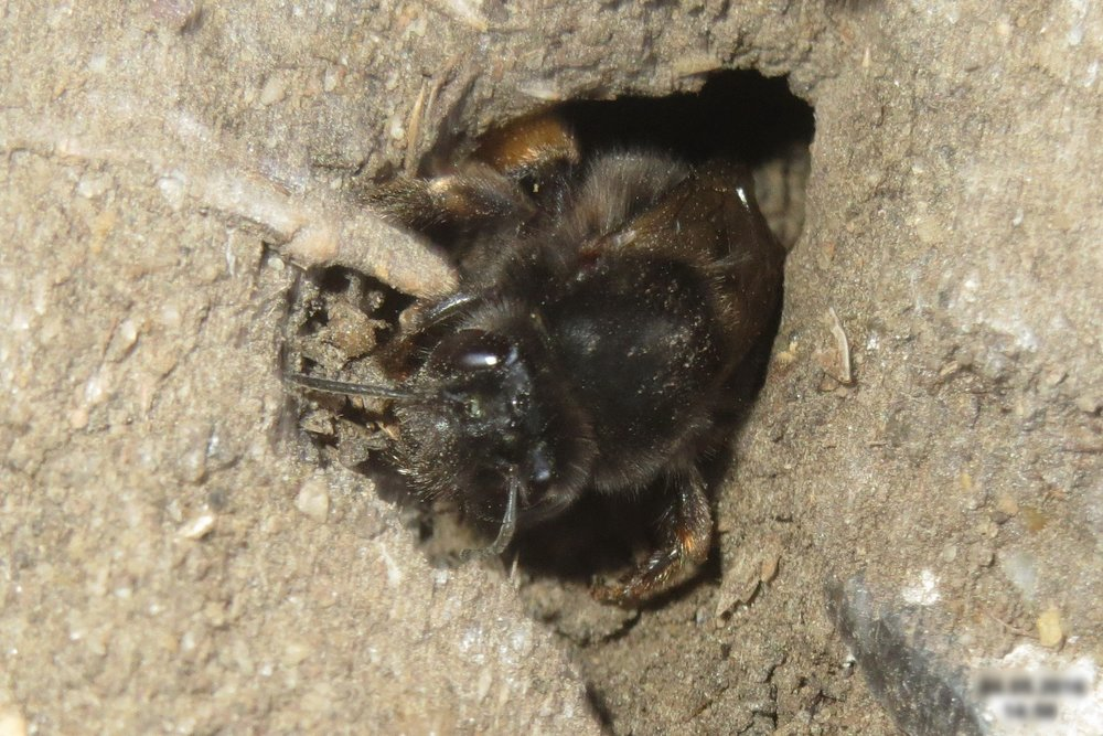 A miner bee emerging from its burrow.