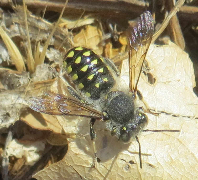 A carder bee,  Anthidium maculosum , standing on a dead leaf.