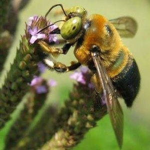 Learn which plants to incorporate in your own paradise for pollinators! Native bees forage on nectar and pollen from plants to provision their nests with food, and some also nest within plants or in tunnels in the ground. Learn landscape techniques that help to preserve and enhance bee resources making your garden beautiful for you and the bees! Family friendly event, all welcome.  Saturday Jul. 13, 2019 (2-4pm). $50