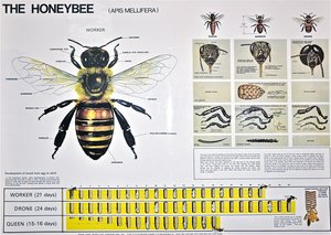 Back to the classroom for an informative lesson on bee biology and health. Most of the honey bee management practices that we use were developed from observations in bee biology. For instance, Reverend Langstroth designed the removable frame hive, based on his observations of 'bee space'. Understanding bee biology is an important key to successful beekeeping with healthy colonies. Much more to learn and share! Family friendly event, all welcome.  Thursday Aug. 15, 2019 (7-9pm). $50